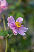 HORSE SHOE BEND, LONDON. DESIGNER MARTHA KREMPEL: CLOSE UP OF PINK FLOWERS OF JAPANESE ANEMONE PRINCE HENRY. BLOOMS, BLOOMING, SUMMER, PERENNIALS