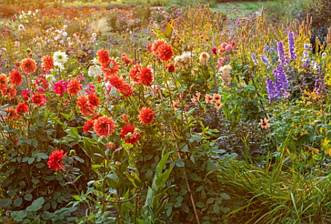 KELMARSH_HALL_NORTHAMPTONSHIRE_BORDER_BESIDE_WALL_WITH_BLUE_DELPHINIUMS_AND_ORANGE_PALE_RED_DAHLIA_T