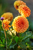 KELMARSH HALL, NORTHAMPTONSHIRE: PLANT PORTRAIT OF ORANGE, TERRACOTTA FLOWERS OF DECORATIVE DAHLIA APRICOT JEWEL. TUBERS, TUBEROUS, DAHLIAS