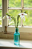 ALHAM FARM, SOMERSET: CORNISHWARE: BATHROOM, BLUE GLASS VASE WITH STEMS OF ACIDANTHERA , ABYSSINIAN GLADIOLI, WHITE, FLOWERS, SUMMER, INDOOR