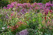 NORWELL NURSERIES, NOTTINGHAMSHIRE: LATE SUMMER, AUTUMN, FALL BORDERS - PINK ASTERS, NICOTIANA, SALVIAS, DAHLIAS. BLOOMS, BLOOMING, PERENNIALS