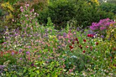 NORWELL NURSERIES, NOTTINGHAMSHIRE: LATE SUMMER, AUTUMN, FALL BORDERS - PINK ASTERS, NICOTIANA, SALVIAS, DAHLIAS. BLOOMS, BLOOMING, PERENNIALS, SWEET PEAS