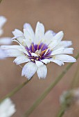 NORWELL NURSERIES, NOTTINGHAMSHIRE: PLANT PORTRAIT OF WHITE, PURPLE FLOWERS OF CATANANCHE CAERULEA ALBA. LATE, FLOWERING, PERENNIALS, BI, COLOR, BICOLOURED, BICOLORED