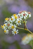 NORWELL NURSERIES, NOTTINGHAMSHIRE: PLANT PORTRAIT OF WHITE, YELLOW, CREAM FLOWERS OF ASTER GLEHNII AGLENII. LATE, FLOWERING, PERENNIALS