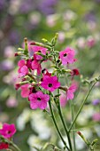 NORWELL NURSERIES, NOTTINGHAMSHIRE: PLANT PORTRAIT OF PINK FLOWERS OF NICOTIANA X HYBRIDA WHISPER MIX F1. LATE, FLOWERING, HALF HARDY, ANNUALS, TOBACCO PLANT