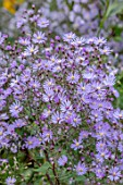 NORWELL NURSERIES, NOTTINGHAMSHIRE: PLANT PORTRAIT OF PALE, PURPLE, BLUE, FLOWERS OF ASTER JANE WARD. AUTUMN, FALL, ASTERS, MICHAELMAS DAISIES