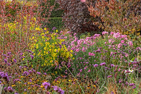 RADCOT_HOUSE_OXFORDSHIRETHE_PAVILION_AREA_PLANT_ASSOCIATION_COMBINATION_OF_PINK_FLOWERS_OF_ASTER_NOV