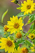 RADCOT HOUSE, OXFORDSHIRE:THE PAVILION AREA: PLANT PORTRAIT OF YELLOW FLOWERS OF HELIANTHUS LEMON QUEEN. PERENNIALS, FALL, AUTUMN, FLOWERING, BLOOMS, BLOOMING