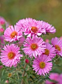 RADCOT HOUSE, OXFORDSHIRE:THE PAVILION AREA: PLANT PORTRAIT OF PINK FLOWERS OF ASTER NOVAE- ANGLIAE ROSA SIEGER. PERENNIALS, FALL, AUTUMN, FLOWERING, BLOOMS, BLOOMING