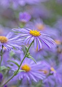 RADCOT HOUSE, OXFORDSHIRE: PLANT PORTRAIT OF BLUE, PURPLE, YELLOW FLOWERS OF ASTER -  X FRIKARTII MONCH, FALL, AUTUMN, FLOWERING, BLOOMS, BLOOMING, PERENNIALS