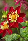 RADCOT HOUSE, OXFORDSHIRE: PLANT PORTRAIT OF RED YELLOW FLOWERS OF COLERETTE DAHLIA CHIMBORAZO. FALL, AUTUMN, FLOWERING, BLOOMS, BLOOMING, PERENNIALS