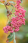 RADCOT HOUSE, OXFORDSHIRE: PLANT PORTRAIT OF THE PINK BERRIES OF SORBUS HUPEHENSIS PINK PAGODA. TREES, FRUITS, ROWAN