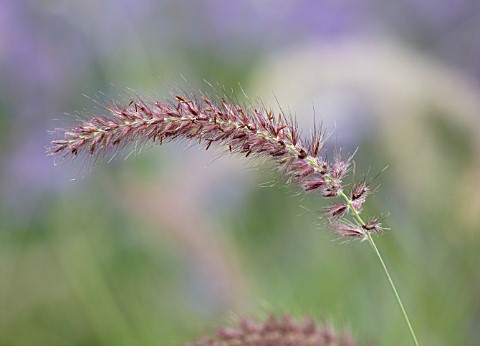 RADCOT_HOUSE_OXFORDSHIRE_PLANT_PORTRAIT_OF_THE_FLOWERS_OF_PENNISETUM_ORIENTALE_KARLEY_ROSE_FEATHERY_