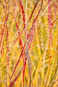 RADCOT HOUSE, OXFORDSHIRE: PLANT PORTRAIT OF THE LEAVES OF IMPERATA CYLINDRICA RED BARRON. GRASSES, ORNAMENTAL