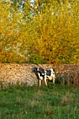 RADCOT HOUSE, OXFORDSHIRE: COW STATUE, SCULPTURE IN FIELD BESIDE WALL. AUTUMN, FALL, ATOM.