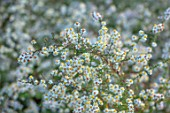 RADCOT HOUSE, OXFORDSHIRE: PLANT PORTRAIT OF WHITE, CREAM FLOWERS OF HEATH ASTER GOLDEN SPRAY , SYMPHYOTRICHUM ERICOIDES, FALL, AUTUMN, FLOWERING, BLOOMS, BLOOMING, PERENNIALS