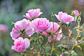 RADCOT HOUSE, OXFORDSHIRE: PLANT PORTRAIT OF PINK FLOWERS OF ROSA BONICA. ROSES, FALL, AUTUMN, FLOWERING, BLOOMS, BLOOMING