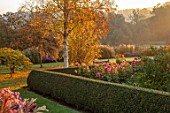 PETTIFERS GARDEN, OXFORDSHIRE: THE PARTERRE: BETULA ERMANII, DAHLIAS PREFERENCE AND AMERICAN DREAM. LATE, SUMMER, FLOWERS, FLOWERING, FALL, BLOOMING, AUTUMN, MORNING, OCTOBER