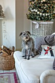 AMANDA KNOX HOUSE GRANTHAM: CHRISTMAS, PET DOG IN LIVING ROOM