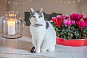 AMANDA KNOX HOUSE GRANTHAM: CAT ON KITCHEN TABLE WITH CANDLE AND CYCLAMEN IN TRAY. PETS