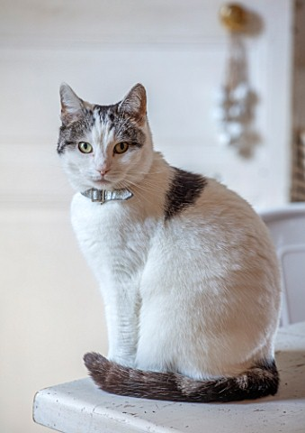 AMANDA_KNOX_HOUSE_GRANTHAM_CAT_ON_KITCHEN_TABLE__PETS