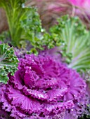 THE CONIFERS, OXFORDSHIRE: CLOSE UP OF PURPLE AND GREEN LEAVES OF ORNAMENTAL KALE NAGOYA ROSE, BRASSICAS, CABBAGES, WINTER