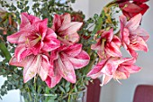 THE CONIFERS, OXFORDSHIRE: CHRISTMAS - KITCHEN DINING ROOM - PINK AND WHITE AMARYLLIS IN VASE WITH EUCALYPTUS