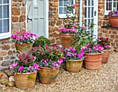 THE CONIFERS, OXFORDSHIRE: CHRISTMAS - FRONT GARDEN, PATIO, GRAVEL, CONTAINERS, CYCLAMEN, CAMELLIA JAPONICA VOLUNTEER, CYCLAMEN, ORNAMENTAL KALE NAGOYA ROSE, SKIMMIA