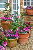 THE CONIFERS, OXFORDSHIRE: CHRISTMAS - CYCLAMEN AND PINK, WHITE STRIPED FLOWERS OF CAMELLIA VOLUNTEER, CONTAINERS, GRAVEL, GARDEN, COTSWOLDS, COTTAGE, ENGLISH, COUNTRY
