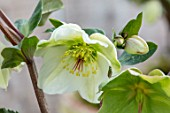 CLOSE UP OF HELLEBORUS ( RODNEY DAVEY MARBLED GROUP ) MOLLYS WHITE. FLOWERS, FLOWERING, SPRINMG, WINTER, HELLEBORES, CREAM, WHITE, GREEN
