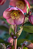 CLOSE UP OF HELLEBORUS ( RODNEY DAVEY MARBLED GROUP ) PENNYS PINK - FROST KISS SERIES. FLOWERS, FLOWERING, SPRING, WINTER, HELLEBORES, PINK