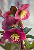 CLOSE UP OF HELLEBORUS ( RODNEY DAVEY MARBLED GROUP ) FROSTKISS CHARMER, FLOWERS, FLOWERING, SPRING, WINTER, HELLEBORES, PINK, PURPLE