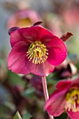 CLOSE UP OF OF HELLEBORUS ( RODNEY DAVEY MARBLED GROUP ) ANNAS RED, FLOWERS, FLOWERING, SPRING, WINTER, HELLEBORES, PINK