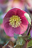 CLOSE UP OF OF HELLEBORUS ( RODNEY DAVEY MARBLED GROUP ) FROSTKISS PIPPAS PURPLE, FLOWERS, FLOWERING, SPRING, WINTER, HELLEBORES, PINK, PURPLE