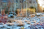 WAKEHURST, SUSSEX: THE WINTER GARDEN, JANUARY - SNOW, BOX BALLS, PENNISETUM, BIRVH TREES, BETULA , CALAMAGROSTIS X ACUTIFLORA KARL FOERSTER, DAWN SUNRISE