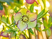 MORTON HALL, WORCESTERSHIRE - CLOSE UP PLANT PORTRAIT OF PINK AND YELLOW FLOWERS OF HELLEBORE, PERENNIALS