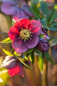 MORTON HALL, WORCESTERSHIRE - CLOSE UP PLANT PORTRAIT OF PINK, RED FLOWERS OF HELLEBORE, PERENNIALS