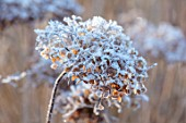 THE OLD RECTORY, QUINTON, NORTHAMPTONSHIRE: DESIGNER ANOUSHKA FEILER: PLANT PORTRAIT OF FROSTY SEED HEADS OF HYDRANGEA