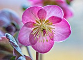 PLANT PORTRAIT OF PALE PINK FLOWERS OF HELLEBORE - HELLEBORUS RODNEY DAVEY MARBLED GROUP HYBRID CHERYLS SHINE. FLOWERING, PERENNIALS, LATE WINTER