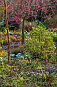 THE PICTON GARDEN AND OLD COURT NURSERIES, WORCESTERSHIRE: WINTER GARDEN BED - PRUNUS MUME BENI CHIDORI, JAPANESE APRICOT, IRIS KATHARINE HODGKIN, CYCLAMEN, BETULA UTILIS DARKNESS