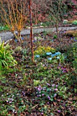 THE PICTON GARDEN AND OLD COURT NURSERIES, WORCESTERSHIRE: WINTER GARDEN BED - SALIX ERYTHROFLEXUOSA, JAPANESE APRICOT, IRIS KATHARINE HODGKIN, CYCLAMEN, BETULA UTILIS DARKNESS