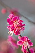 THE PICTON GARDEN AND OLD COURT NURSERIES, WORCESTERSHIRE: PINK BLOSSOM, FLOWERS OF APRICOT, PRUNUS MUME BENI CHIDORI, APRICOTS, BRANCHES, TREES, FRUITS, WINTER