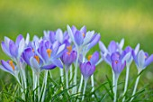 MORTON HALL, WORCESTERSHIRE: CLOSE UP OF PURPLE, PINK, FLOWERS OF CROCUS TOMMASINIANUS, MEADOW, FLOWERING, BULBS, EARLY SPRING, WINTER