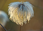 MORTON HALL, WORCESTERSHIRE: CLOSE UP PLANT PORTRAIT OF SEED HEAD OF CLEMATIS TANGUTICA LAMBTON PARK. CLIMBER, CLIMBING