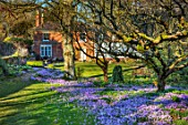 LITTLE COURT, HAMPSHIRE - ORCHARD IN FEBRUARY PLANTED WITH CROCUS TOMMASINIANUS, MEADOW, APPLE ORCHARD, NATURALIZED, BULBS, LAWN, GRASS, HOUSE