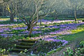 LITTLE COURT, HAMPSHIRE - ORCHARD IN FEBRUARY PLANTED WITH CROCUS TOMMASINIANUS, MEADOW, APPLE ORCHARD, NATURALIZED, BULBS, LAWN, GRASS, STEPS