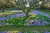 LITTLE COURT, HAMPSHIRE - ORCHARD IN FEBRUARY PLANTED WITH CROCUS TOMMASINIANUS, MEADOW, APPLE ORCHARD, NATURALIZED, BULBS, LAWN, GRASS