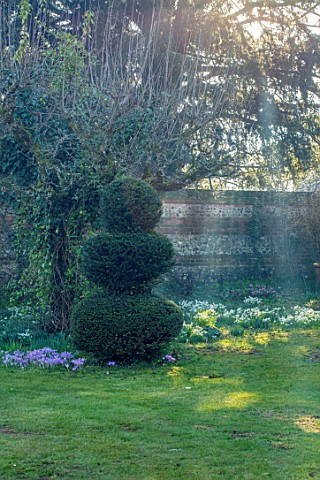 LITTLE_COURT_HAMPSHIRE__AFTERNOON_SUNSHINE_ON_LAWN_CROCUS_TOMMASINIANUS_CLIPPED_TOPIARY_SNOWDROPS_NA