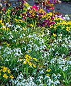 LITTLE COURT, HAMPSHIRE - SNOWDROPS, ACONITES, ERANTHIS HYEMALIS, HELLEBORES, NATURALIZED, BULBS, SHADE, SHADY
