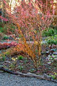 THE PICTON GARDEN AND OLD COURT NURSERIES, WORCESTERSHIRE: WINTER GARDEN BED - PRUNUS MUME BENI CHIDORI, JAPANESE APRICOT, SALIX ERYTHROFLEXUOSA, SHRUBS, FEBRUARY